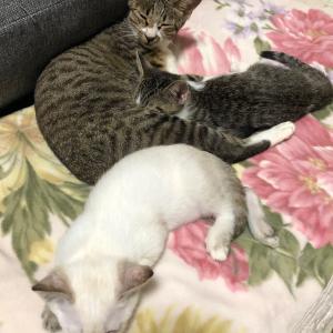 1267〜1269 親子猫はどうですか? キジ白、シャム風 女の子 里親募集