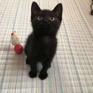 1448 ハンモックがお気に入り☆ とってもかわいい黒猫男の子です。黒猫ラバーズ必見!!!
