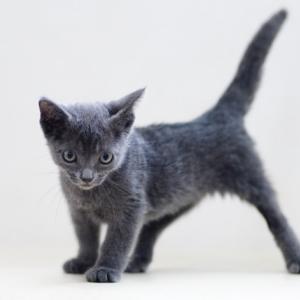 1216 ちょっと他の子と違うだけ。天真爛漫なハンデ猫さん。グレー 女の子