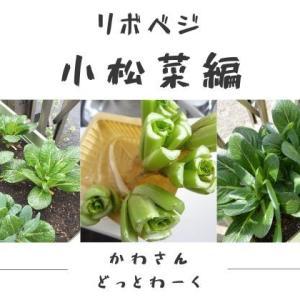 再生野菜「リボベジ」の育て方と成長記録【小松菜編】