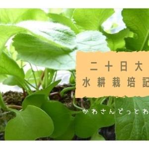二十日大根を育ててみた!成長から収穫までの記録【水耕栽培編】