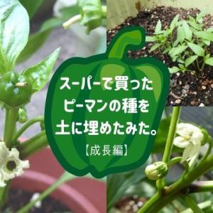 スーパーで買ったピーマンの種を土に埋めたみた【成長編】。