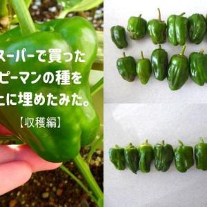 スーパーで買ったピーマンの種を土に埋めたみた【収穫編】。