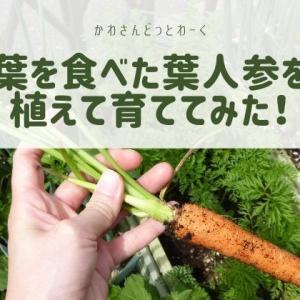 葉人参は2度食べられる!葉を食べた葉人参を植えて育ててみた!