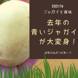 去年の青いジャガイモから発芽して!育って!収穫!成長から収穫までの記録。