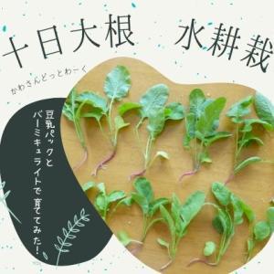 二十日大根を豆乳パックとバーミキュライトで育ててみた【水耕栽培リベンジ編】