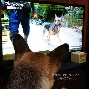 テレビ見る犬