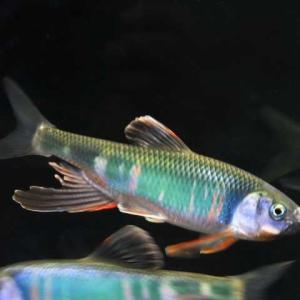 ゲスコラム4 フィッシングプラス!日本淡水魚飼育!