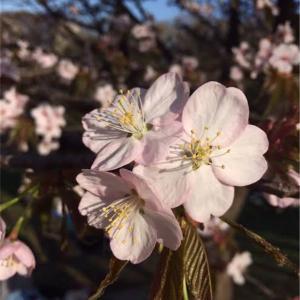 人工呼吸器と桜と私と・・・