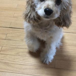 愛犬「マカン」の成長記録♡