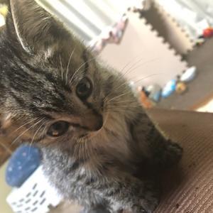 かわいい生後約2ヶ月のキジトラ子猫を保護。新しい家族が増えました!