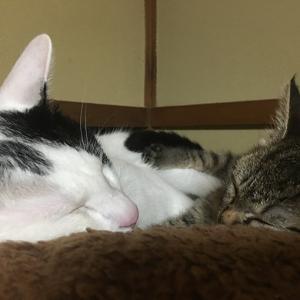 キジトラ子猫「だいず」は兄猫「こばん」が大好き!