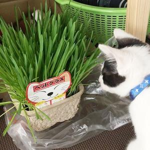 草を食べて毛玉を出そう!