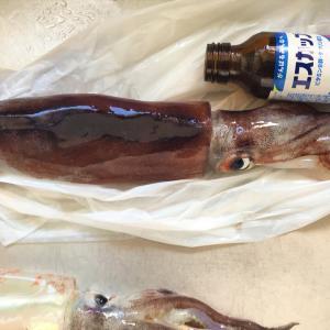 函館沖 イカ釣りに出掛けた知人から活イカ30匹もらったので