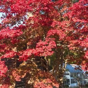 【最新】函館香雪園の紅葉は 今こうよう 函館紅葉2020