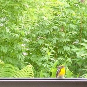 ギリシャ神話の「ナルシス」の名を持つ小鳥が窓辺にやって来ました!