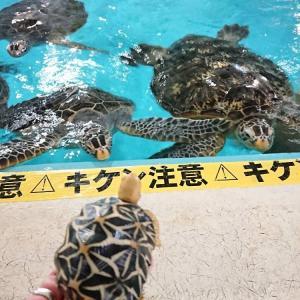 桂浜水族館 ウミガメ