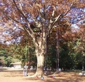 木登りの一日・木登り体験会 11月17日・・。
