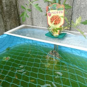 「メダカのビオトープでアクアポニックス」 ~ 水耕栽培でミニトマト作ってみよう ~