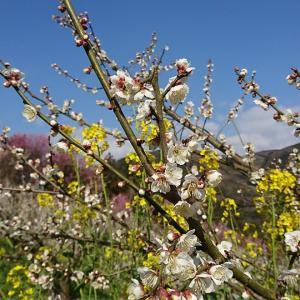 「七折梅まつり」美しく色とりどりに梅が咲き広がる