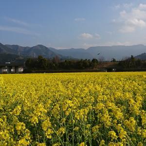 200万本の花が咲く、見奈良の「菜の花まつり」