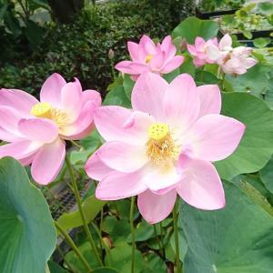 儚き花、大連古代蓮を見るなら午前中に!緑豊かな松山市考古館はこどもだって楽しめる!