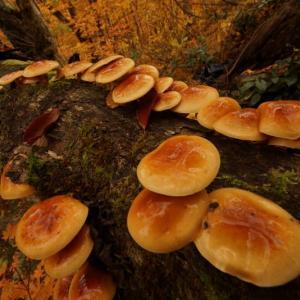 自然彷徨 裏磐梯原生の森・天然ナメコ