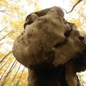 自然創造 橅奇形樹