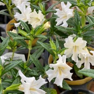 さわやかな農園の白い花と葉