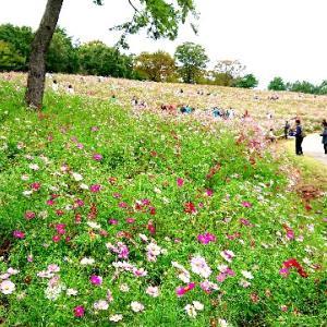 メニエール病の改善にはお散歩も!昭和記念公園のコスモスまつりに行って来ました