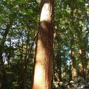 伊勢神宮の木がやさしかった