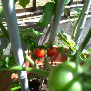 ミニトマト初収穫
