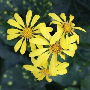 蕗の花(ふきのはな)