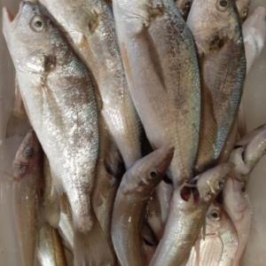 8月後半のシロギス釣り