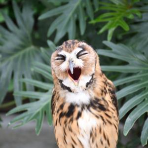 タテジマフクロウ(ウサギフクロウ)