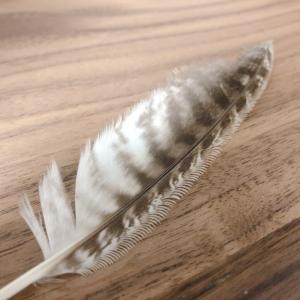 フクロウの羽根|静かに飛べる理由はギザギザ構造(セレーション)