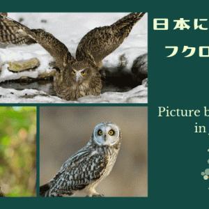 日本に生息する野生フクロウ11種類まとめ【野鳥ふくろう画像あり】