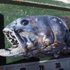 ヨコヅナイワシ 駿河湾最深部のトップ・プレデター
