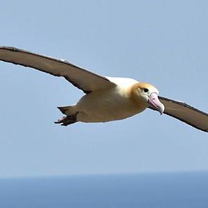 アホウドリの翼