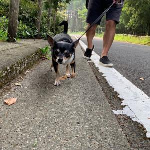 【簡単更新】歩く犬たちと夜中に触られるポコの話