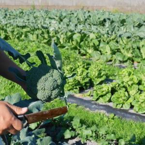 桑高農園(吉田町)ーレタスを中心とした、こだわりの多品目栽培