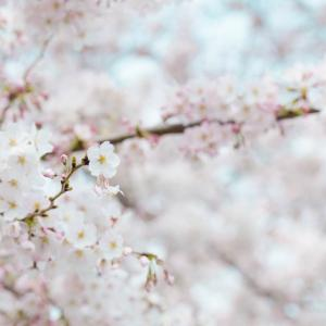 ほっこり。月曜日に贈る言葉。桜の花言葉について。(4月8日)