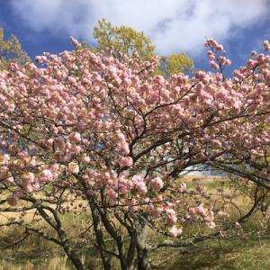 八重桜ざんまい