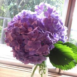 紫陽花、心ある方々が立ち上がって下さった