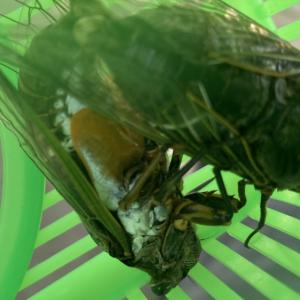 セミの交尾を見て思うこと。セミの集まる木で昆虫採集
