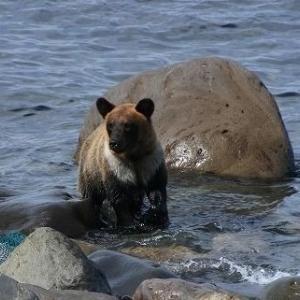 札幌市内でクマが活動を始めている。