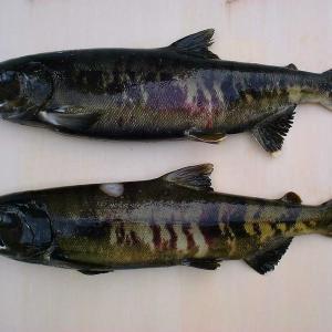 【サケマス釣り】効果的な餌選びと時間帯選びで釣果アップ!
