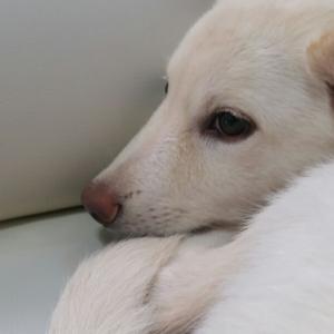 ワン子 (7)  紀州犬?