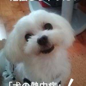☆ 猛暑お見舞い申し上げます~犬の熱中症を真剣に視聴するわんこえなちゃん&暑さに勝つメニュー~♪