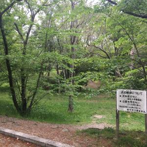 千里中央公園にアミガサタケは生えるかな?